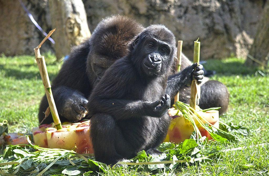 Celebración del 2º cumpleaños de la gorila VIRUNGA
