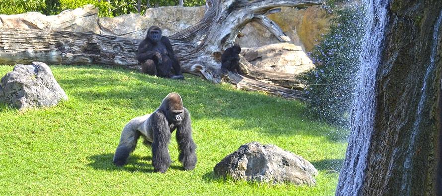En BIOPARC Valencia, los fines de semana de septiembre, todos comprometidos con gorilas y chimpancés
