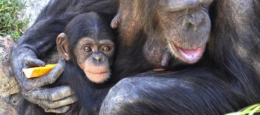 El bebé chimpancé COCO
