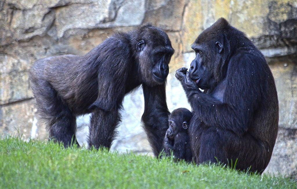 Gorilas - Fossey Ebo y Pepe - octubre 2018