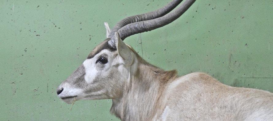BIOPARC Valencia incorpora una nueva especie de antílope en peligro crítico de extinción: los Addax