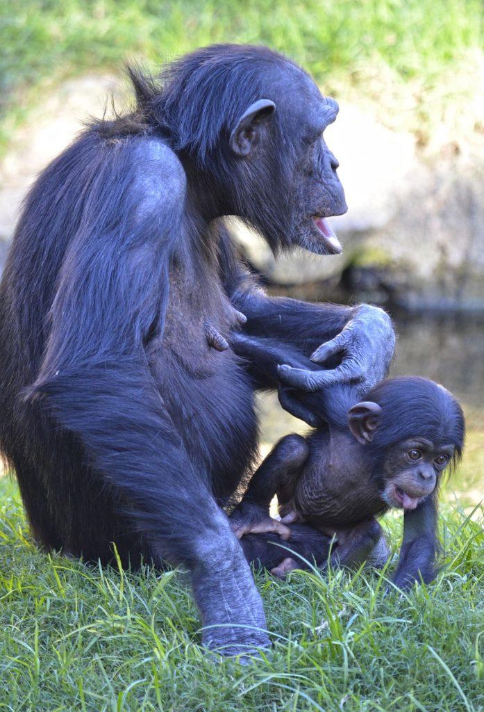 Coco, el bebé chimpancé nacido en BIOPARC, cumple 3 meses