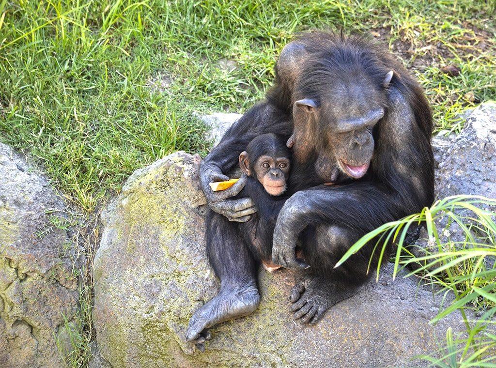 Coco, el bebé chimpancé nacido en BIOPARC Valencia