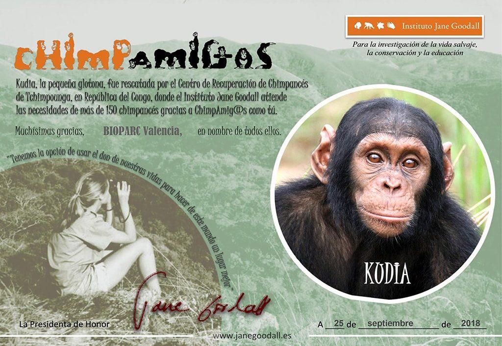 BIOPARC Valencia apadrina a Kudia, la primera chimpancé reintroducida en el Congo por el Instituto Jane Goodall