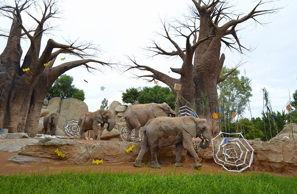 "BIOPARC Valencia celebra un ""Halloween"" muy animal - Elefantes"