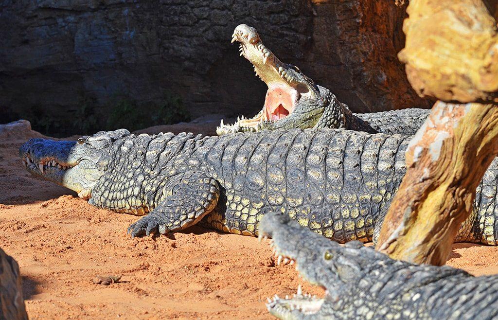 BIOPARC Valencia recibe tres cocodrilos del Nilo