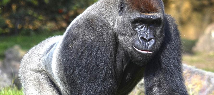 """Thomas, el gorila del grupo de """"solteros"""" de BIOPARC Valencia, será macho reproductor en Alemania"""