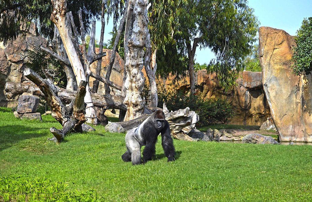El gorila Thomas en el bosque ecuatorial de BIOPARC Valencia