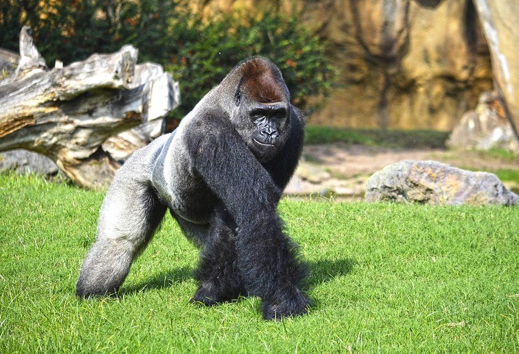 El gorila Thomas en BIOPARC Valencia