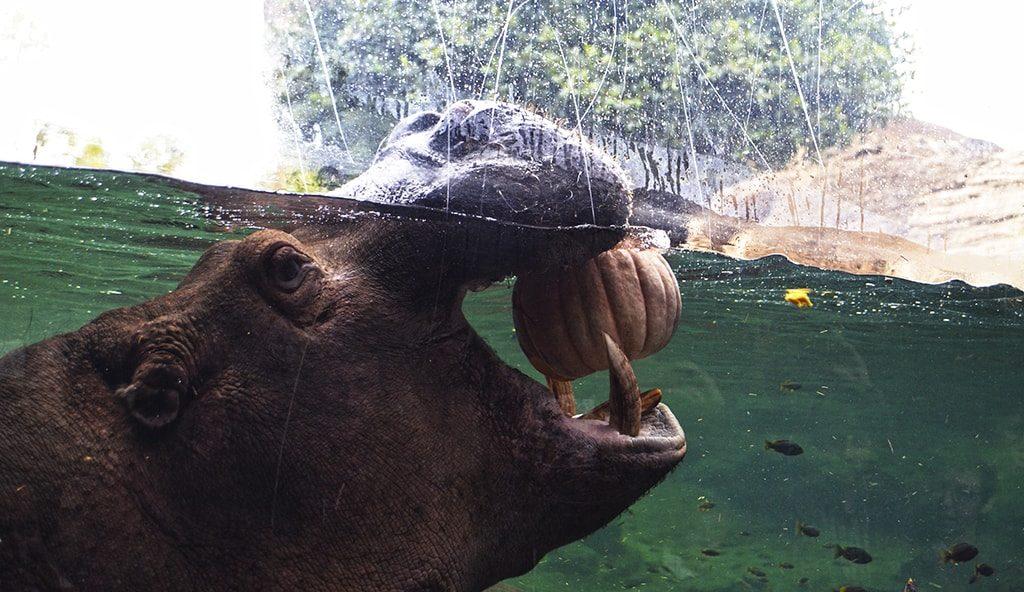"BIOPARC Valencia celebra un ""Halloween"" muy animal - Hipopótamo"
