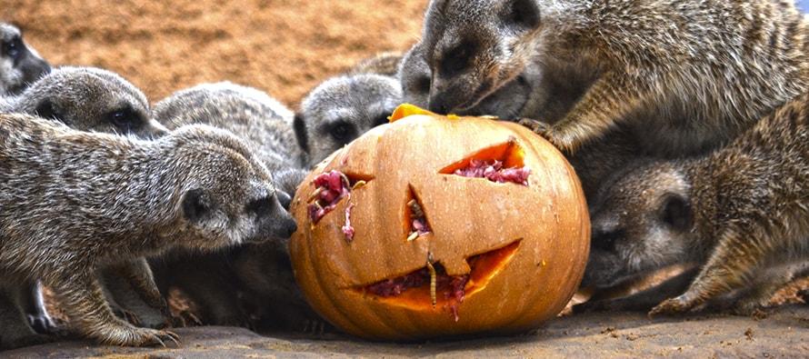 "BIOPARC Valencia celebra un ""Halloween"" muy animal"