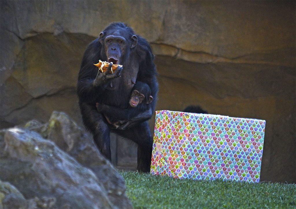 Los Reyes Magos adelantan sus regalos para los animales de BIOPARC Valencia - chimpancés