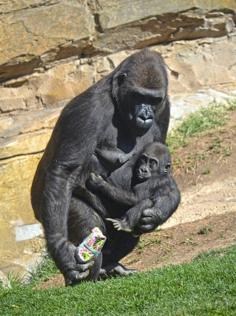 El día de la Mujer coincide con el aniversario de Pepe, hijo de la gorila Fossey, que cumple 1 año y ha disfrutado de una celebración muy especial junto con su familia