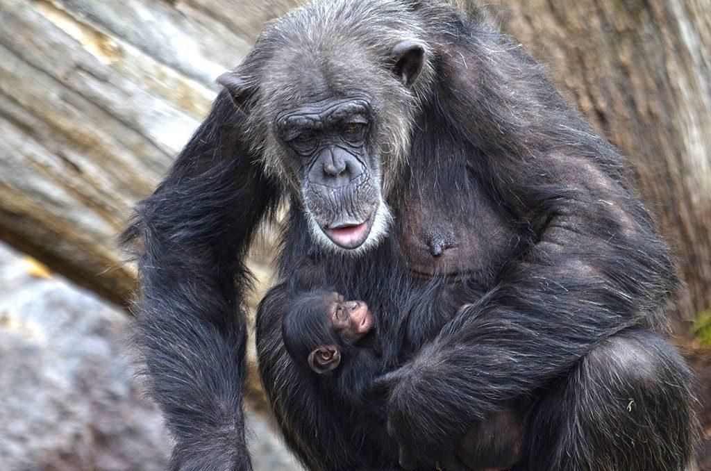 Fallecen los mellizos de chimpancé nacidos en BIOPARC Valencia