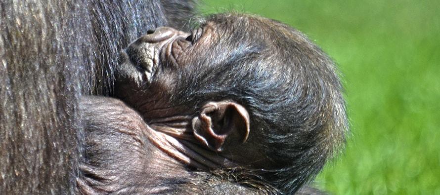 Nace una cría de gorila en BIOPARC Valencia