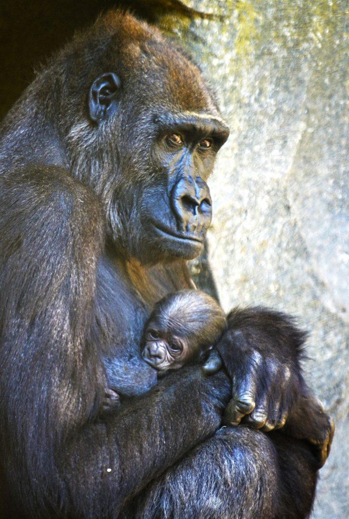 Abril 2019 - La gorila Ali y su cría recién nacida en BIOPARC Valencia