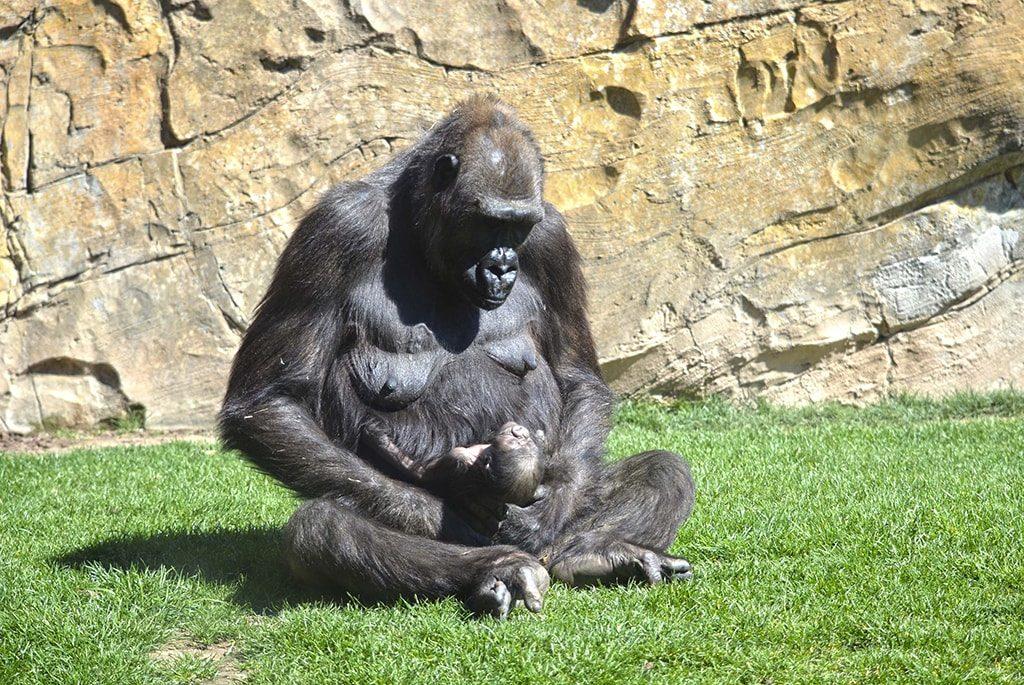 Nace una cría de gorila en BIOPARC Valencia - abril 2019