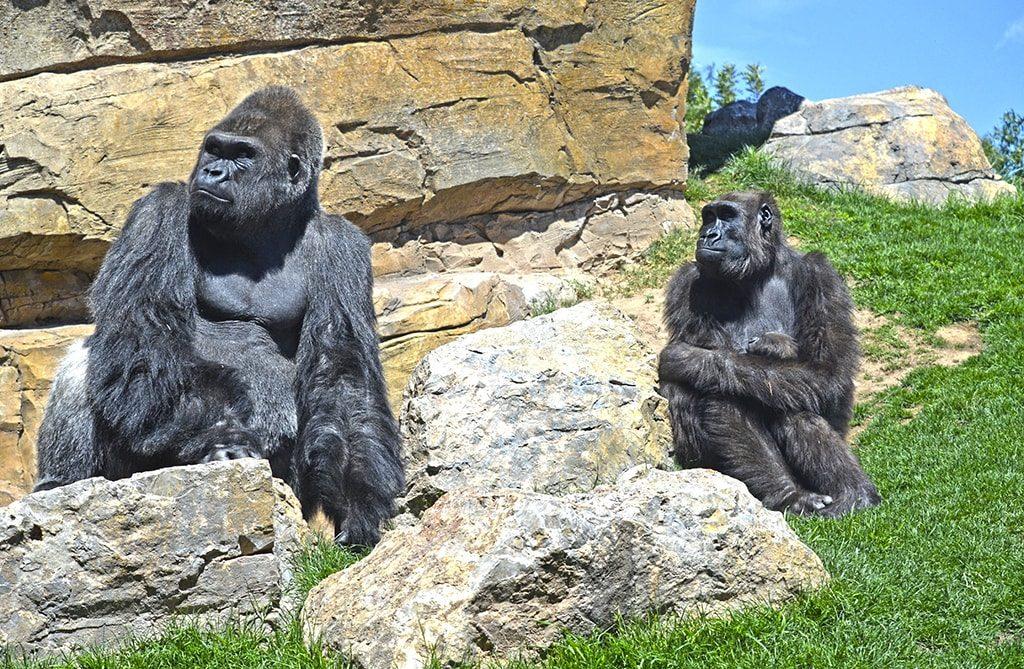 Los gorilas Mambie, Ali y Felix en BIOPARC Valencia