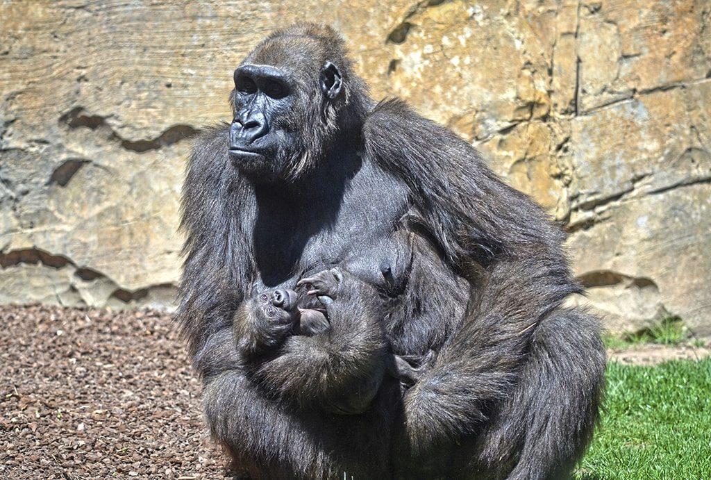 El bebé gorila de BIOPARC Valencia se llama Félix en honor a Felix Rodríguez de la Fuente