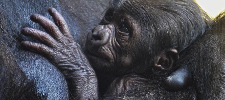 40a205d3d634 El bebé gorila nacido en BIOPARC Valencia cumple una semana y es macho