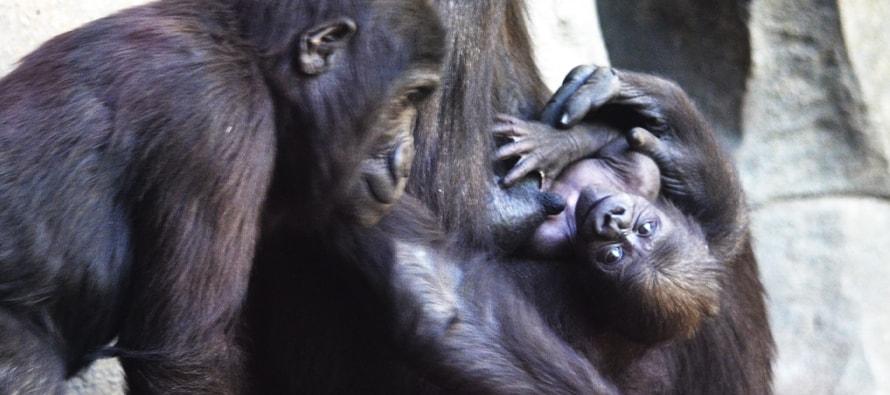 El bebé gorila de BIOPARC Valencia se llama Félix en honor a Rodríguez de la Fuente
