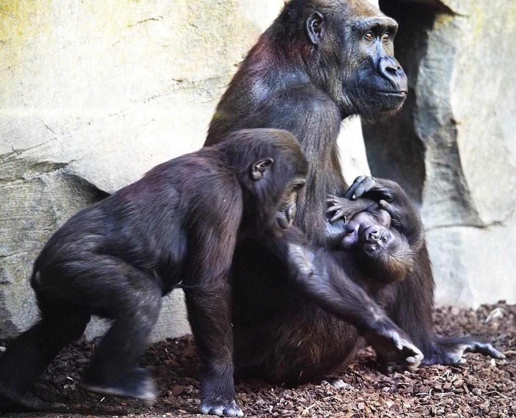 Familia de gorilas en BIOPARC Valencia