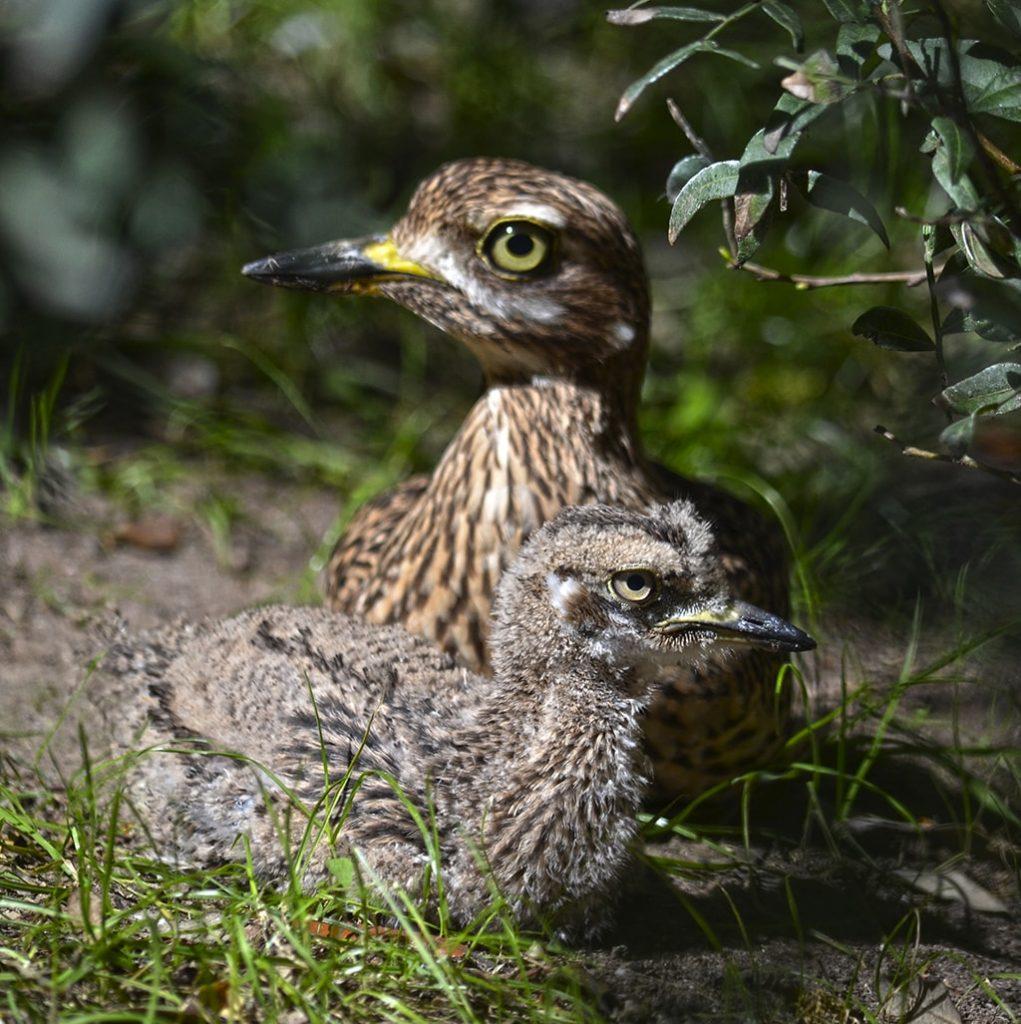 BIOPARC Valencia conmemora el Día de las aves migratorias y celebra el nacimiento de un polluelo de una especie amenazada