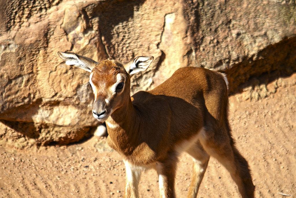 Nacimiento en directo en BIOPARC Valencia de una gacela Mhorr, especie extinta en la naturaleza