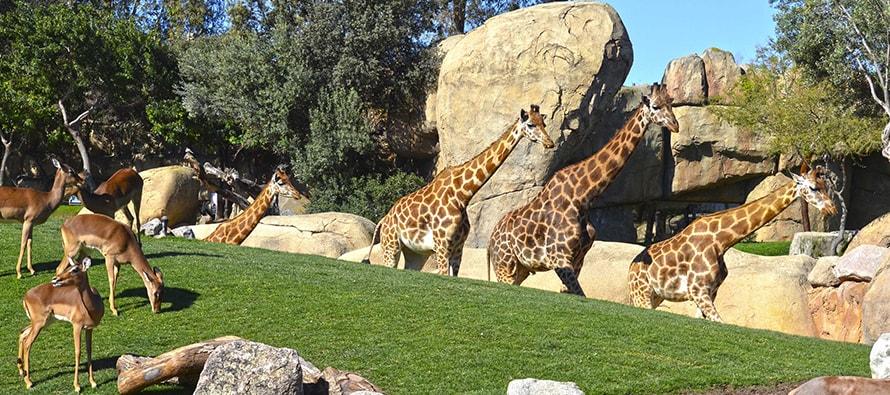 BIOPARC traslada tres jirafas en peligro de extinción nacidas en Valencia para formar un grupo en Cantabria