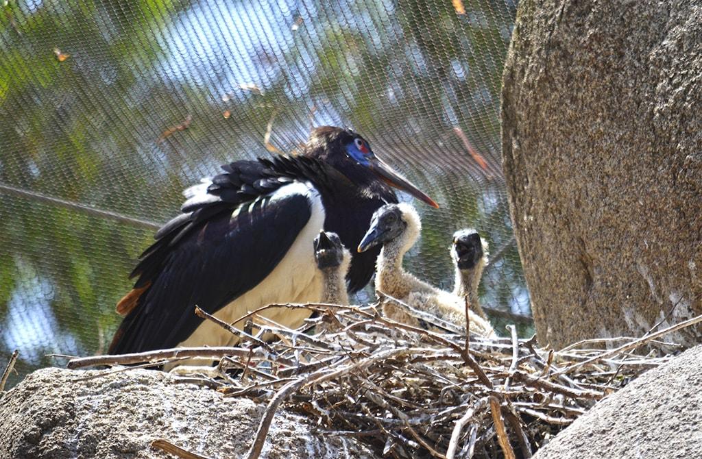 """Una nidada de cigüeñas de Abdim, pollitos de """"pato colorado"""" y un blesbok entre las nuevas crías nacidas estos días."""