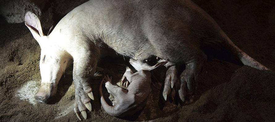 Nace en BIOPARC Valencia un oricteropo, especie poco conocida y uno de los personajes de La Pantera Rosa