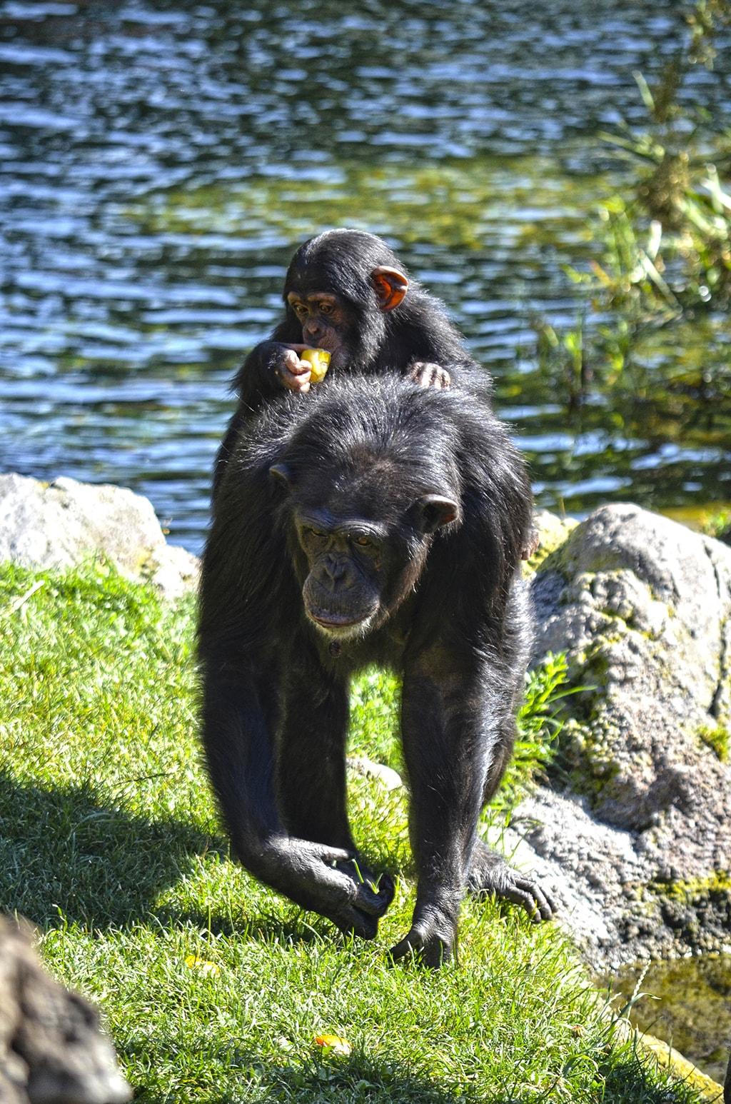 Los animales de BIOPARC Valencia dan la bienvenida al verano con sabrosos helados - chimpancés