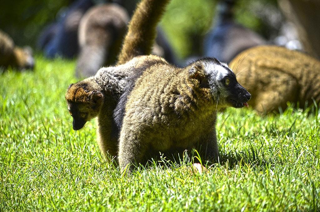 Los animales de BIOPARC Valencia dan la bienvenida al verano con sabrosos helados - lémur con su cría