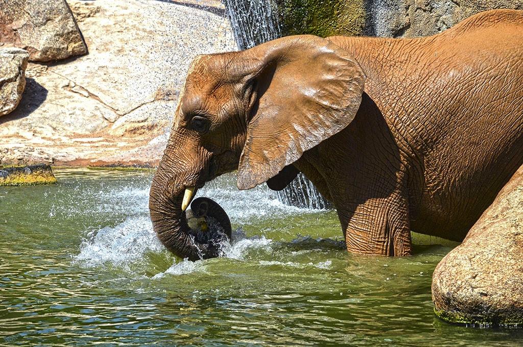 Los animales de BIOPARC Valencia dan la bienvenida al verano con sabrosos helados - elefante