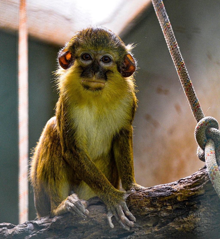 BIOPARC Valencia acoge un nuevo grupo del mono más pequeño de África, víctima del tráfico ilegal como mascotas