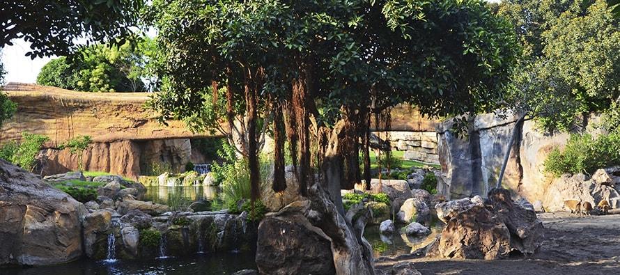 BIOPARC Valencia amplía los grupos de los exóticos cerdos potamoqueros y los búfalos rojos en el impresionante bai de la selva