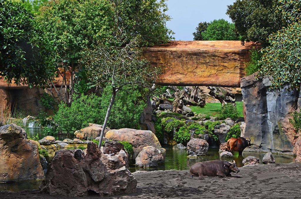 Bufalos y potamoqueros en el bai de BIOPARC Valencia - verano 2019