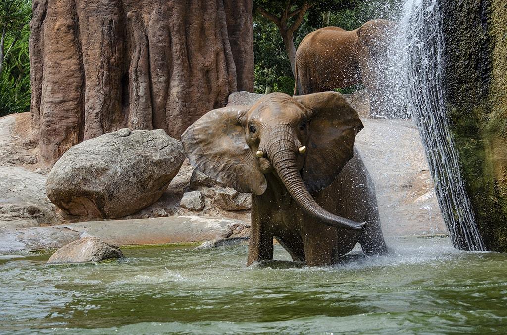 BIOPARC Valencia celebra el Día Mundial del Elefante - elefante jugando en el agua