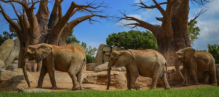 BIOPARC Valencia celebra el Día Mundial del Elefante