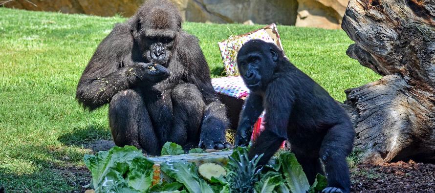 Virunga celebra su cumpleaños con su familia en BIOPARC Valencia