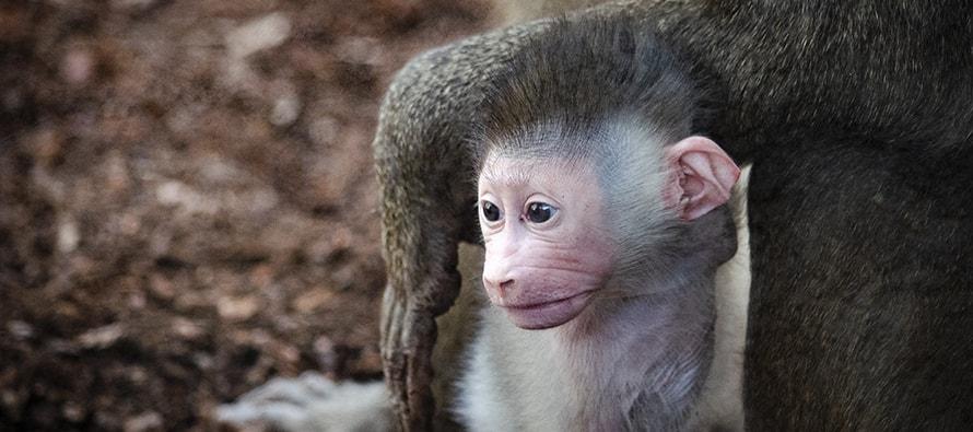 El mismo día nacen dos crías de dril en BIOPARC Valencia, un primate africano en grave riesgo de extinción