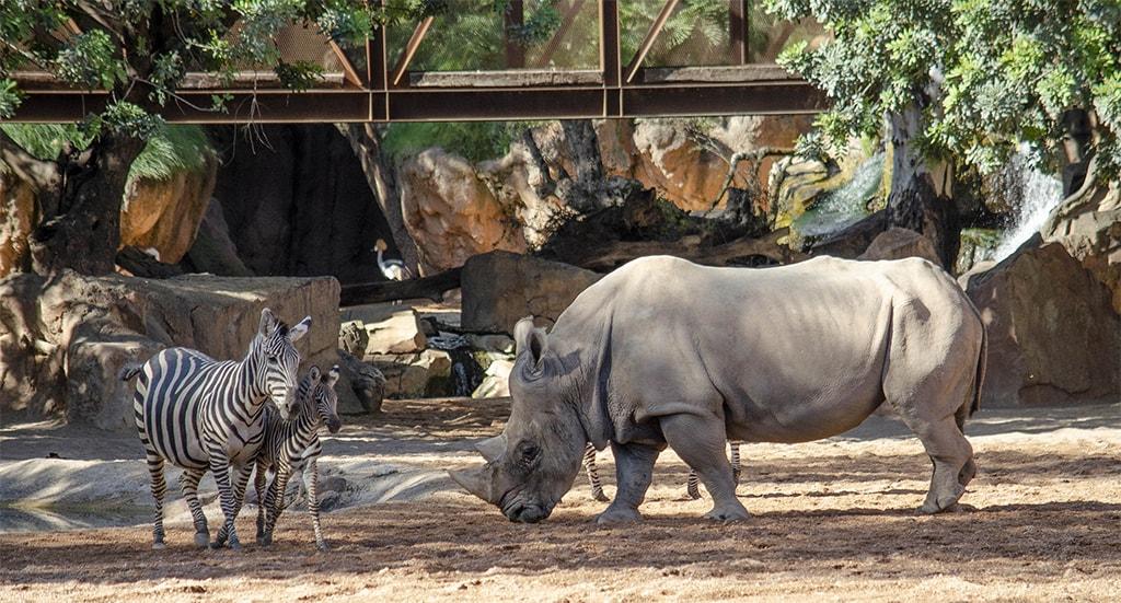 Cebras y rinocerontes - octubre 2019 en BIOPARC Valencia
