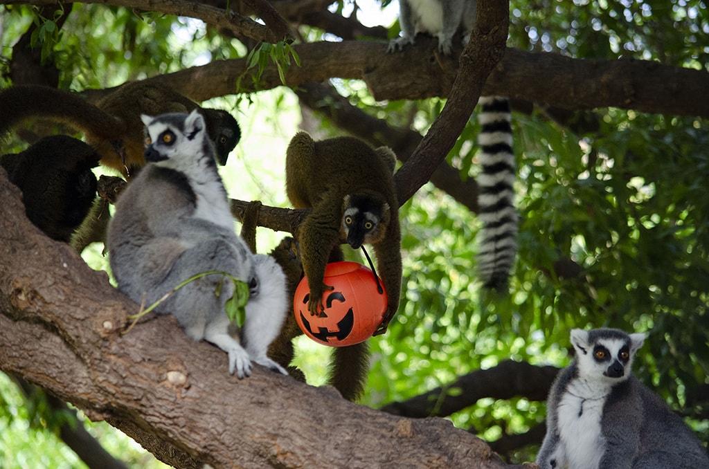 Halloween muy animal 2019 - BIOPARC Valencia - lemures