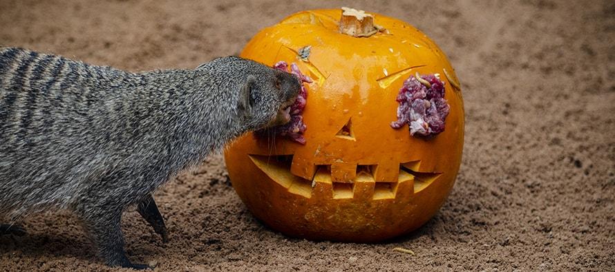BIOPARC Valencia sorprende a los visitantes con un Halloween muy animal