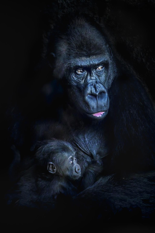 La gorila Fossey y su hijo Pepe en BIOPARC Valencia
