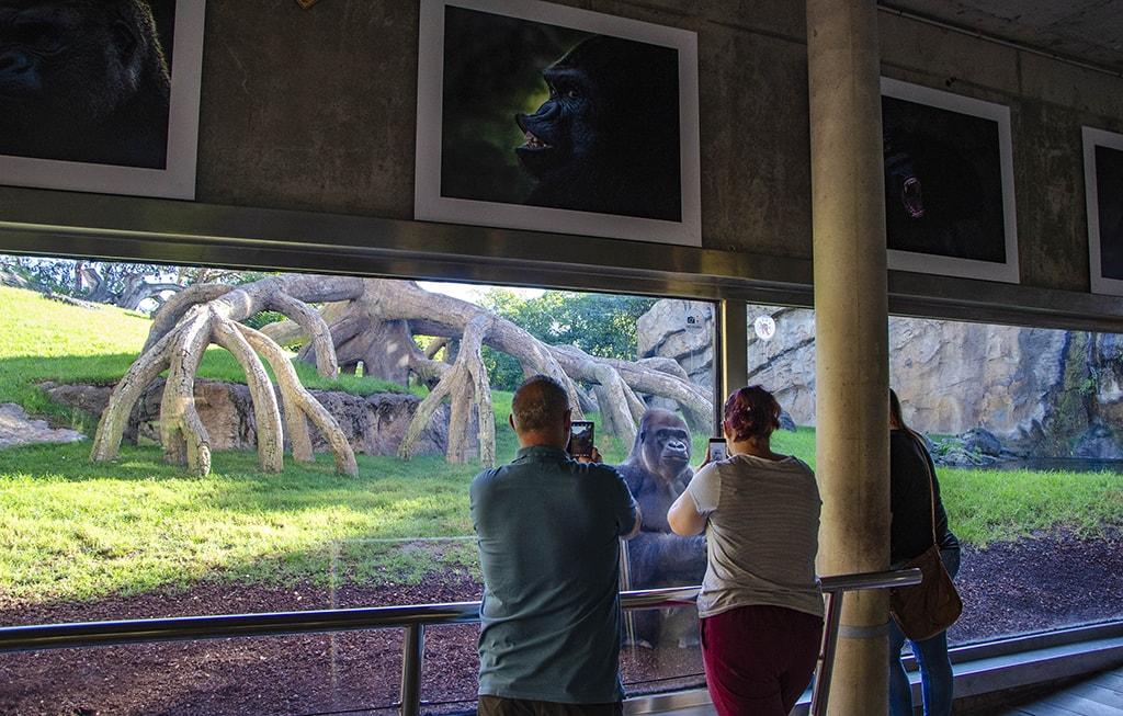 """Octubre 2019 - Exposición fotográfica """"Instantáneas de los gorilas"""" en BIOPARC Valencia"""