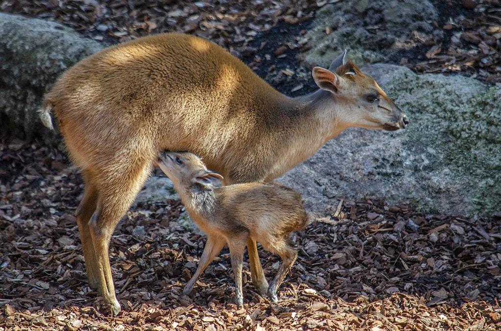Nace un duiker rojo de Natal en BIOPARC Valencia, único parque de España que alberga esta poco conocida especie