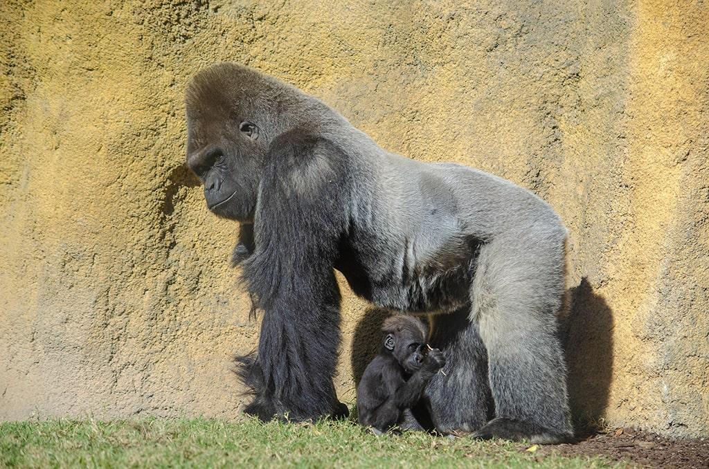 Gorilas, padre e hijo, en BIOPARC Valencia