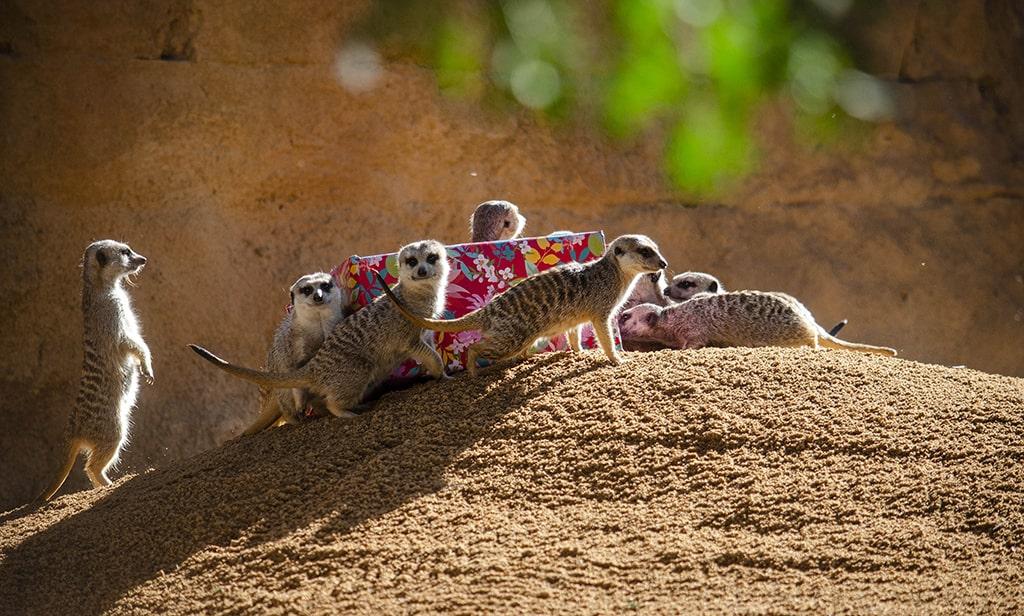 Regalos de Papá Noel para las suricatas de BIOPARC Valencia