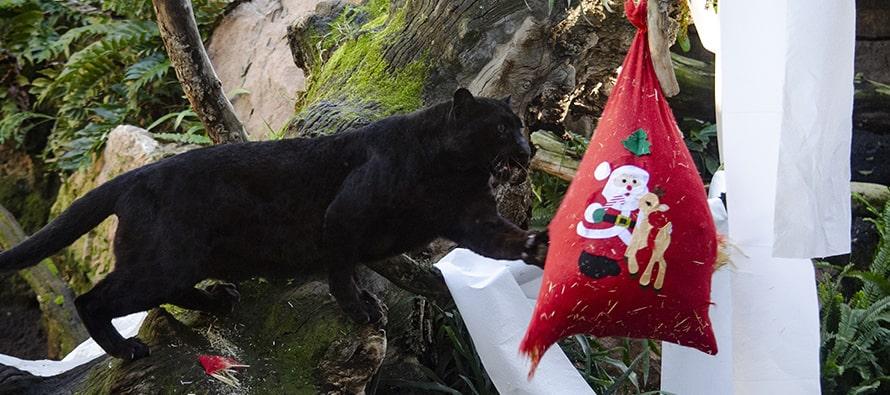 Papá Noel entrega sus regalos a los animales en BIOPARC Valencia